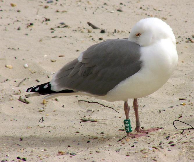 Окольцованная серебристая чайка. © Фото с сайта ru.wikipedia.org