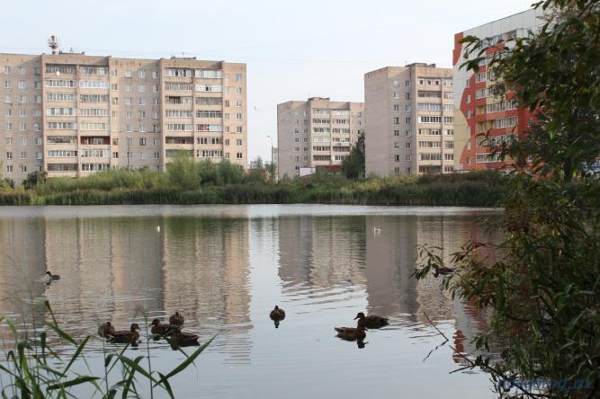 На обсуждениях благоустройства будущего парка новгородцы подчёркивали, что вокруг пруда нужно скосить только часть камыша, потому что там гнездятся утки и выводят птенцов.