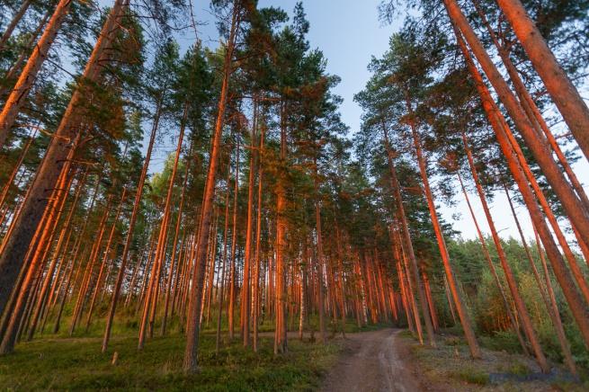 новгородской области фото леса