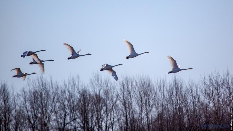 Лебеди-кликуны на бывших карповниках у «Синего моста» во время перелета на север.