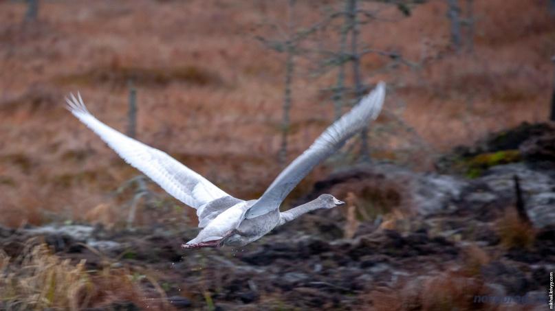 Лебедь-кликун на болоте Гажьи сопки.