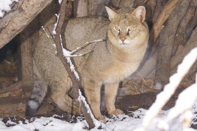 Камышовый кот. © Википедия