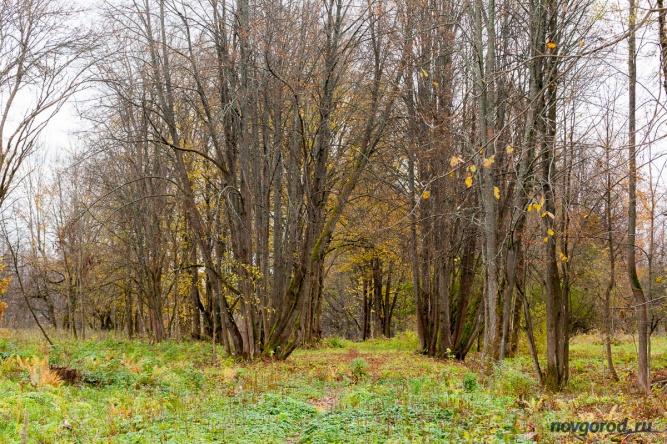 Бывшая липовая аллея после первого этапа расчистки территории усадьбы «Онег».